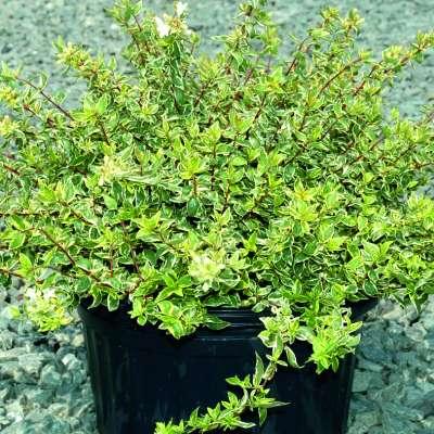 Abelia X Grandiflora Radiance 3l Pot Vertigrow