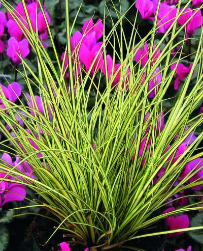 Grass plants shipped to your door carex brunnea jenneke 2l pot mightylinksfo Gallery