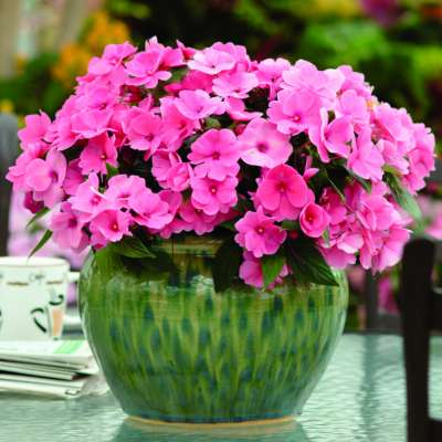Busy Lizzy - a perfectly pink addition to any hanging basket