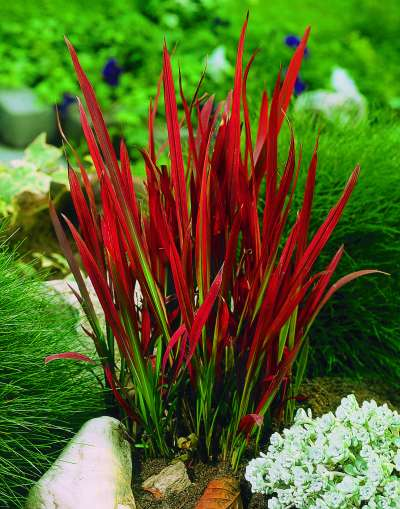 imperata cylindrica red baron 3l pot vertigrow. Black Bedroom Furniture Sets. Home Design Ideas