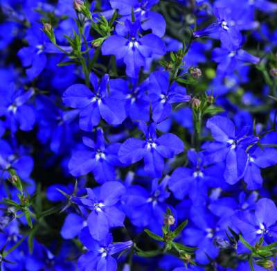 Lobelia Erinus adds a splash of blue to your hanging basket