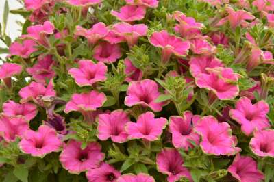 Petunia Picasso in Pink 9cm pot